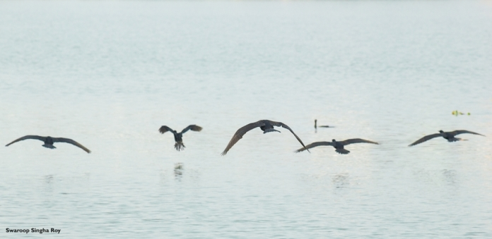 Indian Cormorants at Flight