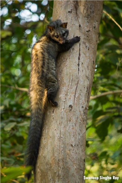 Asian Palm Civet