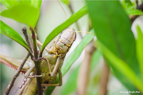 "Grasshopper says ""Peek-a-boo"" !"