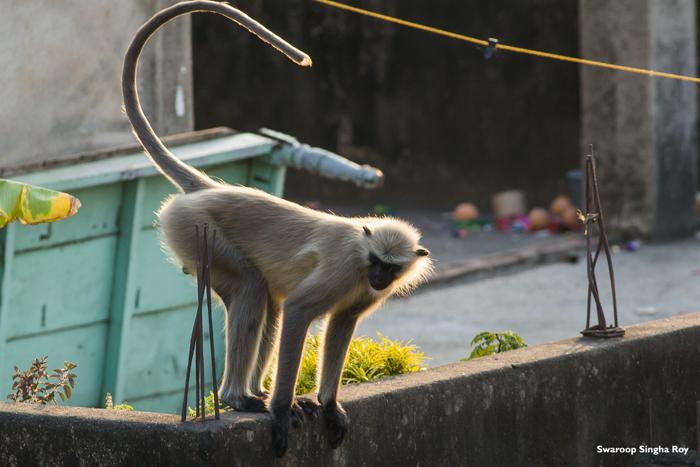 Gray Langur India Urban