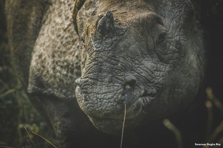 Indian One Horned Rhinoceros Jaldapara National Park 2