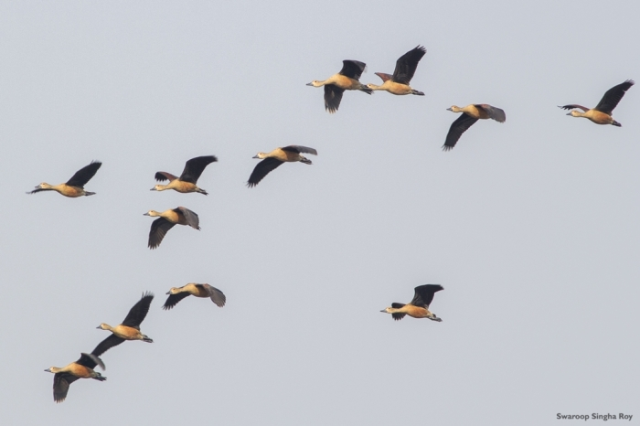 Lesser Whistling Ducks Santragachi Jheel 4