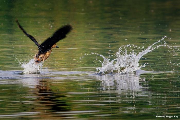 Lesser Whistling Ducks Santragachi Jheel