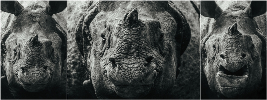 """Potrait of a Living Tank""  Expressions of an Indian One-Horned Rhinoceros at Jaldapara National Park"