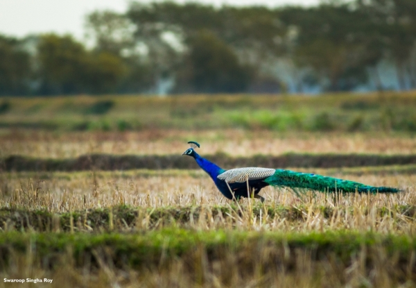 Indian Peafowl at a paddyfield