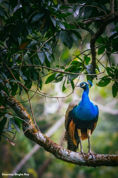Indian Peafowl - Chilapata Forest