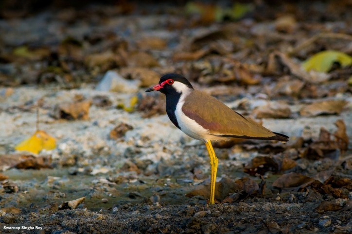 Red-Wattled Lapwing near Jayanti River, Buxa Tiger Reserve