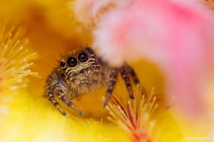 Swaroop_Singha_Roy_Macro_Extension_Tubes_Jumping_Spider_7