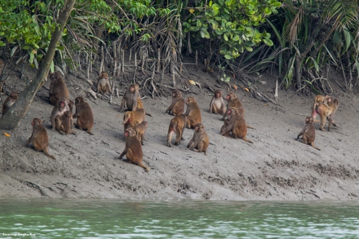 A group of Rhesus Macaques at the bank of the river Shot with Tamron 150-600mm f/5-6.3 Di VC USD