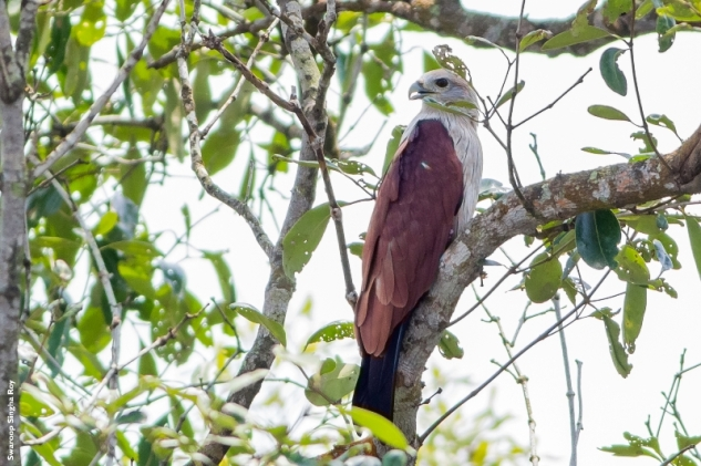 Record shot of a Brahminy Kite. This bird is my favorite among all raptors :D
