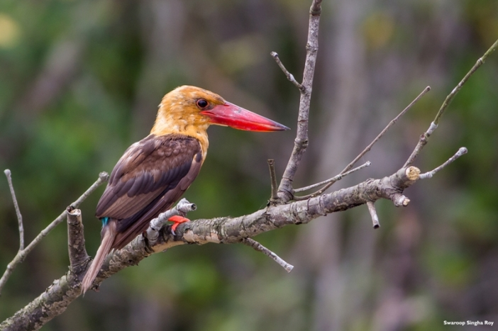 The forests of Sunderban is home to 8 different varieties of Kingfishers and here's a photograph of one of them, the Brown Winged Kingfisher! This beautiful bird falls in the