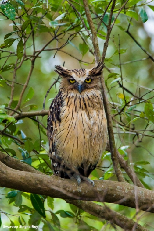 One of the key species of Sunderbans that we came across during the first day of our safari - The Buffy Fish Owl. This species of Owl is one of the most rarely seen birds of Sunderban.