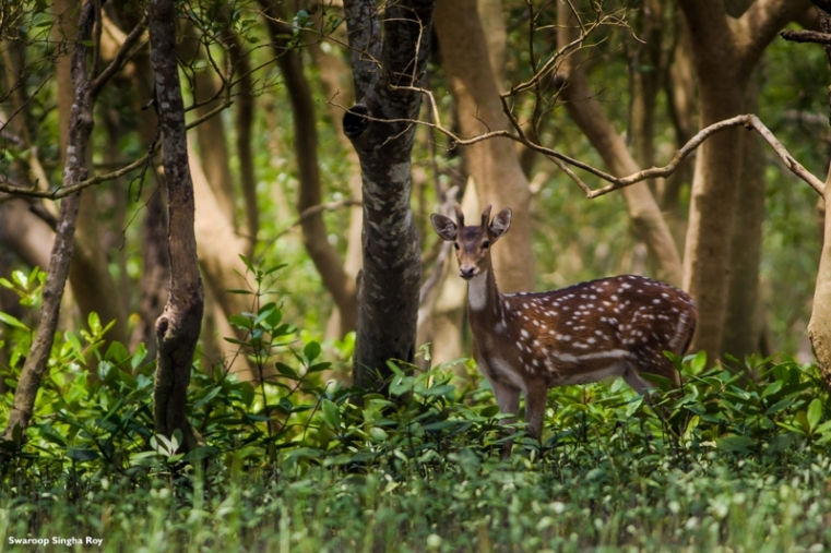 An Indian Spotted Deer staring from the Mangroves