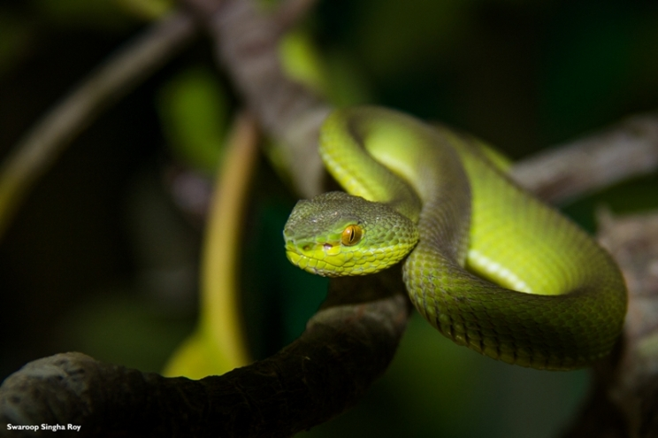 Red Tailed Bamboo Pit Viper