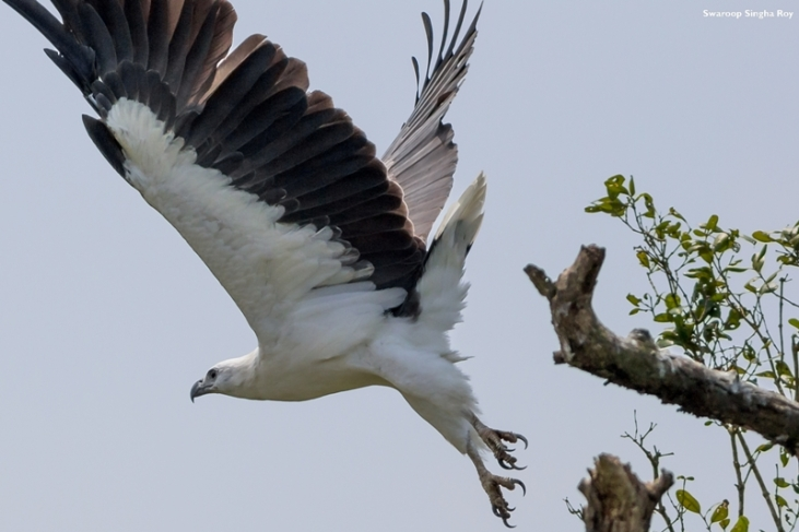 White Bellied Sea Eagle 2 Sunderban Tiger Reserve Swaroop Singha Roy