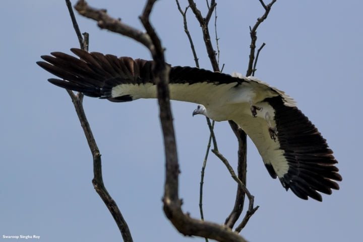 White Bellied Sea Eagle 3 Sunderban Tiger Reserve Swaroop Singha Roy