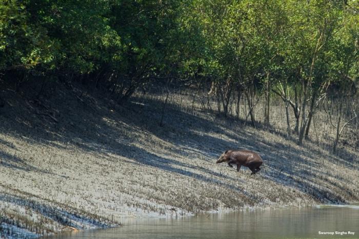 Wild Boar Crossing River 4Sunderban Tiger Reserve Swaroop Singha Roy
