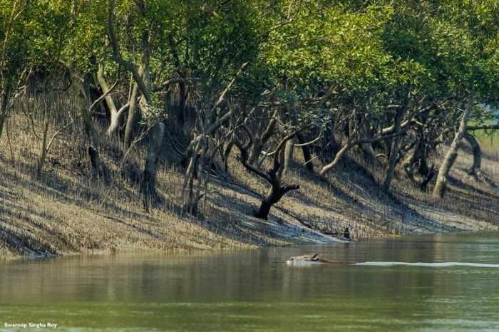 Wild Boar Swimming Crossing River 3 Sunderban Tiger Reserve Swaroop Singha Roy