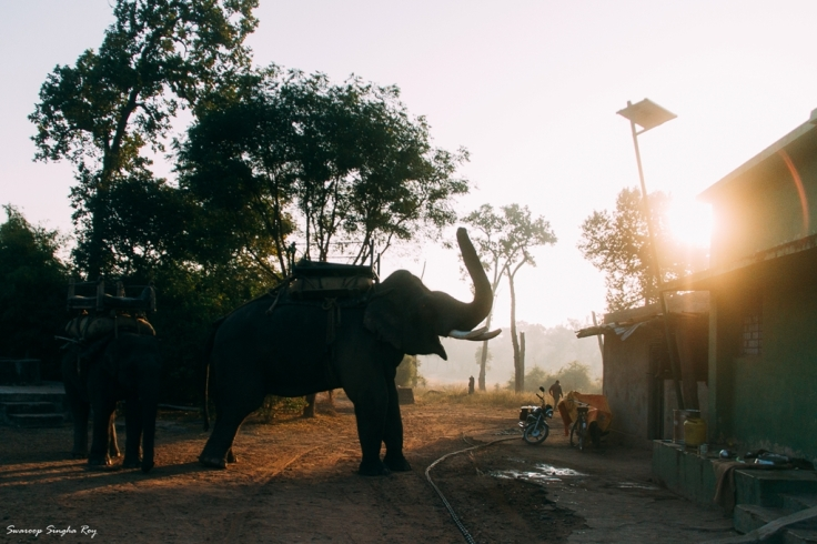 Tamed elephants that are used for patrolling by the forest guards.