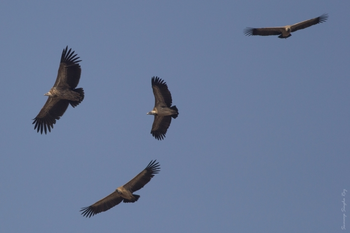 Spotted this group of Griffon Vultures hovering over a field while returning from the first morning safari.