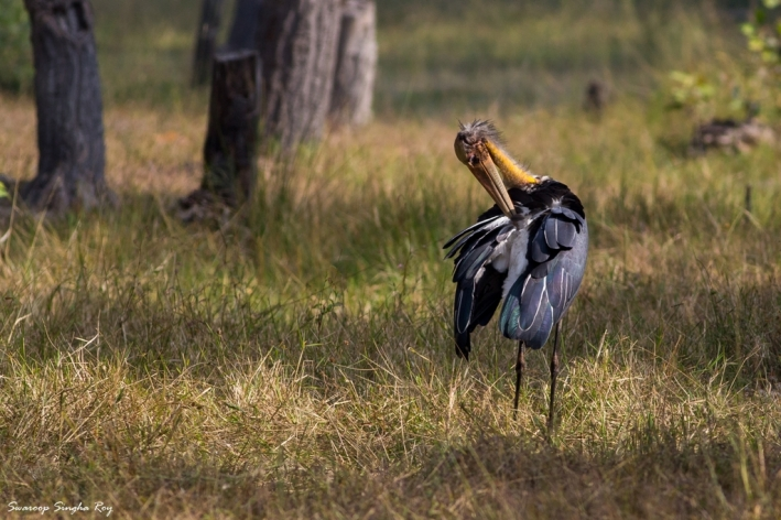 A Lesser Adjutant preening its feathers