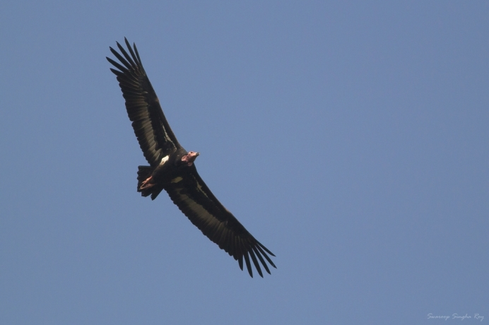 "The Red-headed Vulture also known as the Asian King Vulture is a species of Old World vulture found in the Indian Subcontinent. This species of vulture is listed as a ""Critically Endangered"" species in the IUCN Red List."