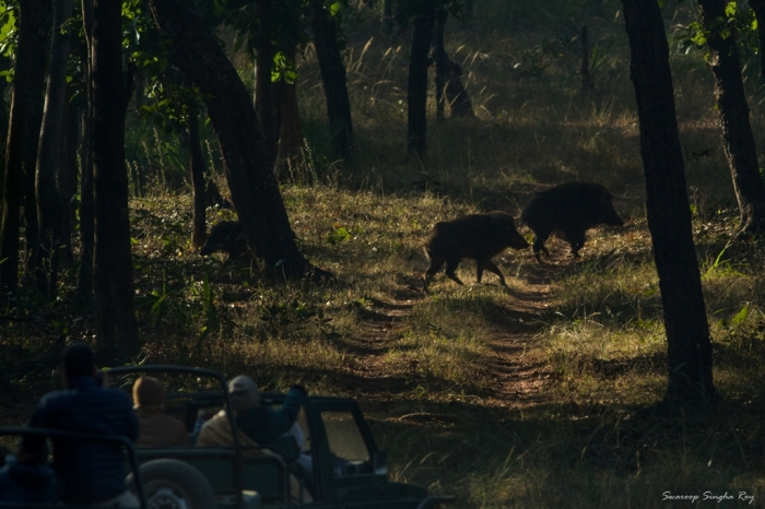 Tourists watching a herd of wild boars. This was shot at Magdhi zone and that road ahead had drag marks of a chital (Spotted deer) kill, probably made by a young tigress. The wild boars seen here were cautiously inspecting the ground!