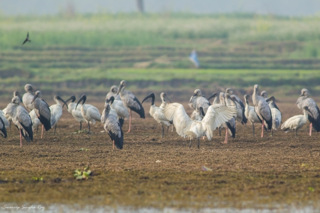 A flock of Asian Openbill Storks and Black-Headed Ibis