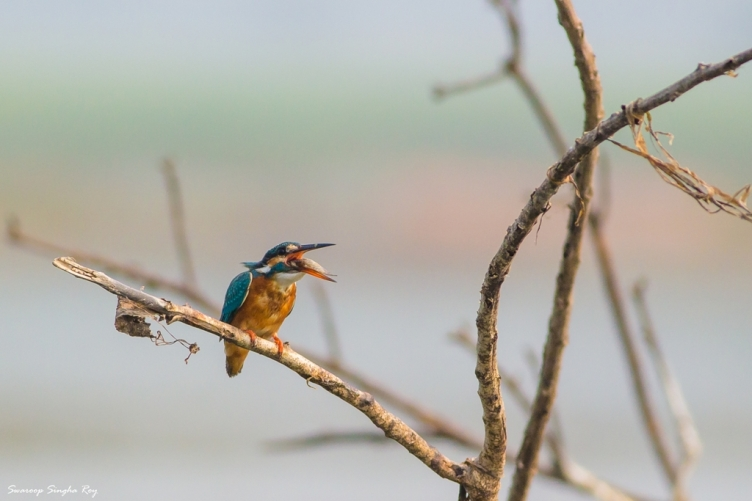 Common Kingfisher (Alcedo atthis) with catch!
