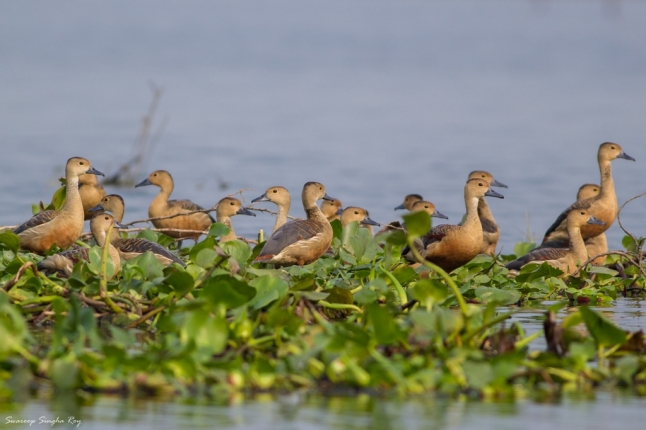 Flock of Lesser Whistling Ducks