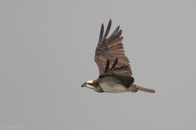 Osprey at flight