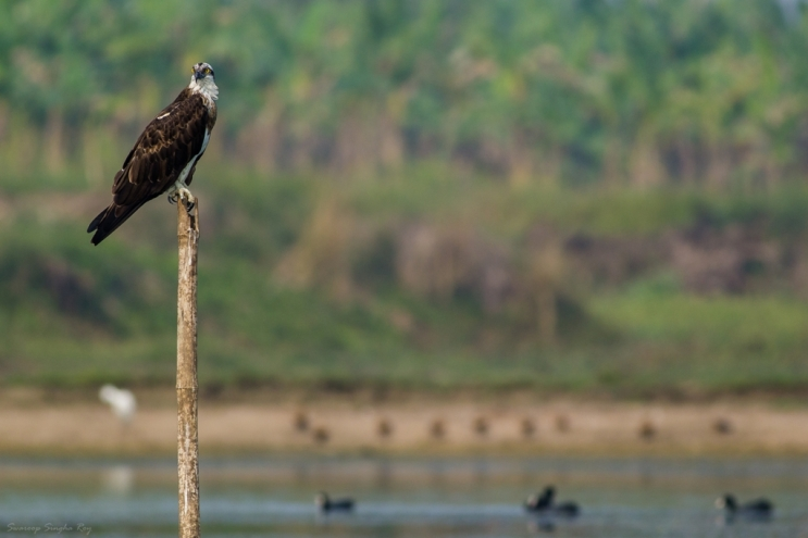 The osprey (Pandion haliaetus) is a diurnal, fish-eating bird of prey with a cosmopolitan range. It is a large raptor, reaching more than 60 cm (24 in) in length and 180 cm (71 in) across the wings. It is brown on the upperparts and predominantly greyish on the head and underparts.