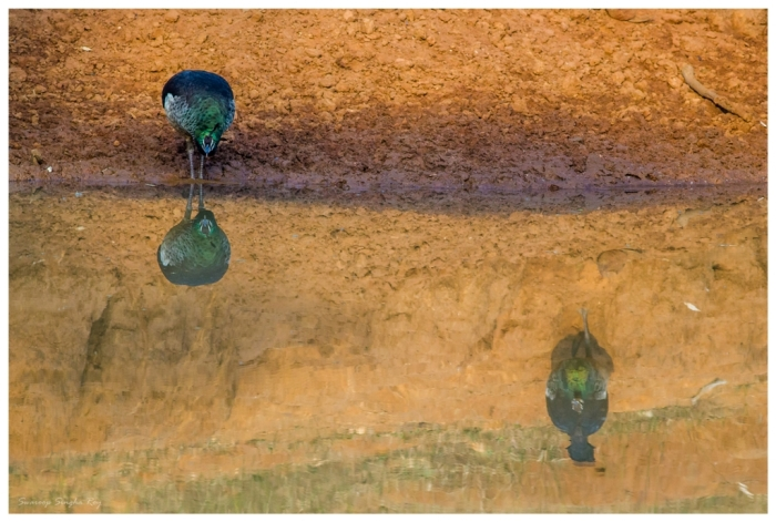 Peahens at a waterhole