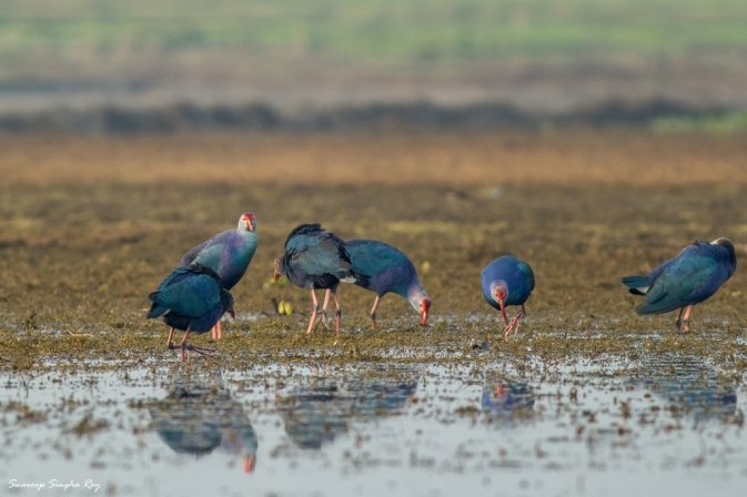 A group of Purple Swamphens