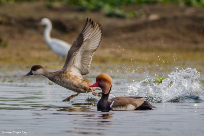 Red-Crested Pochard. Female in flight.