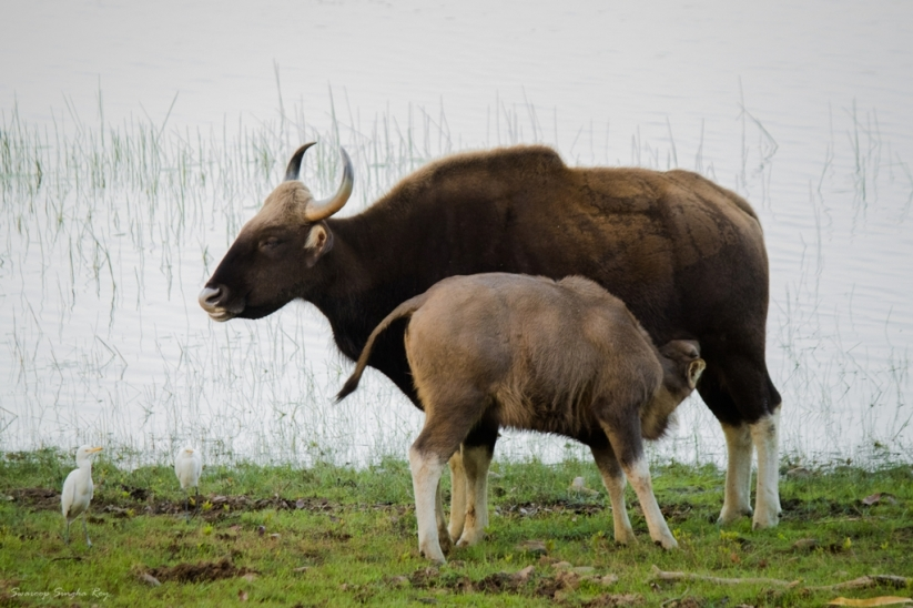 A mother Gaur (Indian Bison) feeding her calf - at the Tadoba Lake The gaur, also called Indian bison, is the largest extant bovine, native to South Asia and Southeast Asia. The species has been listed as vulnerable on the IUCN Red List since 1986, as the population decline in parts of the species' range is likely to be well over 70% during the last three generations. Population trends are stable in well-protected areas, and are rebuilding in a few areas which had been neglected.