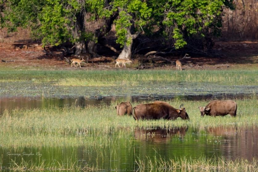 Gaurs and Chitals, at the Tadoba Lake