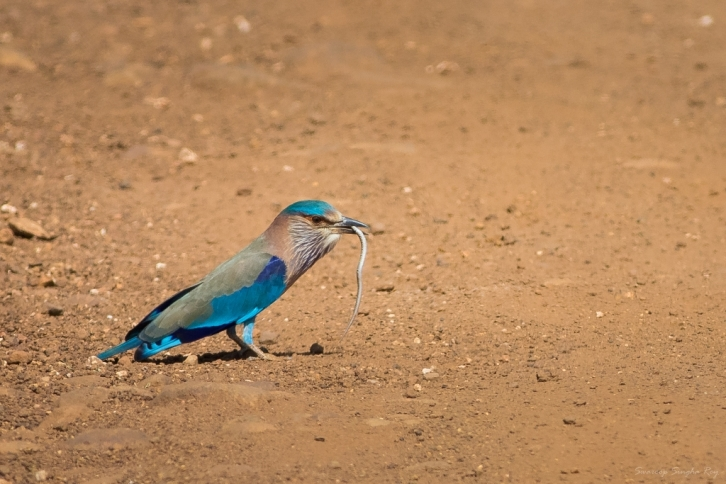 While returning towards Navegaon gate, we came across this Indian Roller eating a snake in the middle of the road!