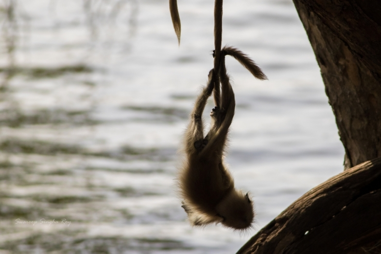 A young Gray Langur dangling from one of the grown-up's tail
