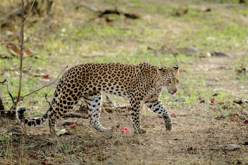 Behold the Spotted Queen of Jamni! The Indian leopard (Panthera pardus fusca) is a leopard subspecies widely distributed on the Indian subcontinent. The species Panthera pardus is classified as Near Threatened by IUCN since 2008 because populations have declined following habitat loss and fragmentation, poaching for the illegal trade of skins and body parts, and persecution due to conflict situations.