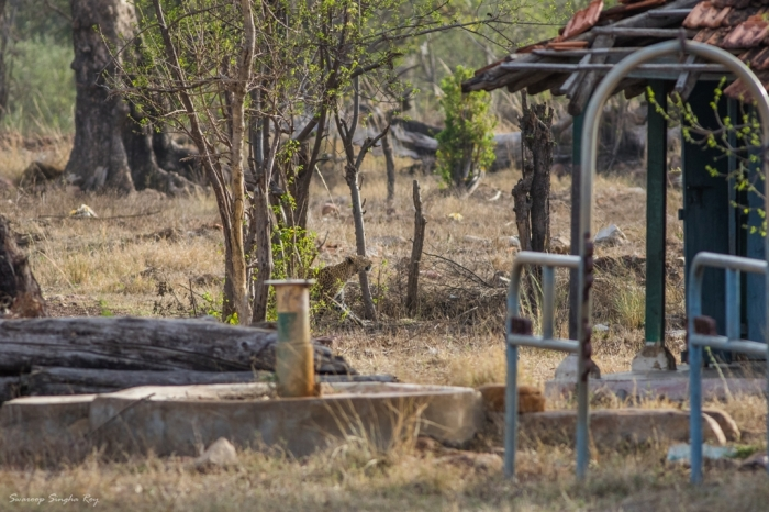 The leopard reappears near an abandoned school building by the side of the forest.