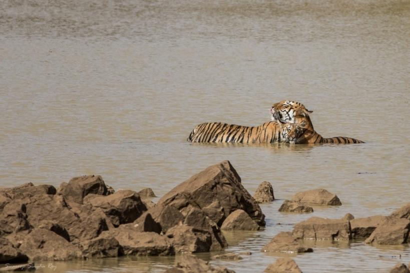 Cuddling with Mom - Tigress Maya and her cub