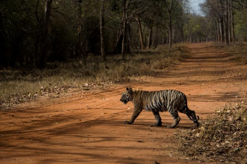 Maya's cub crossing the road