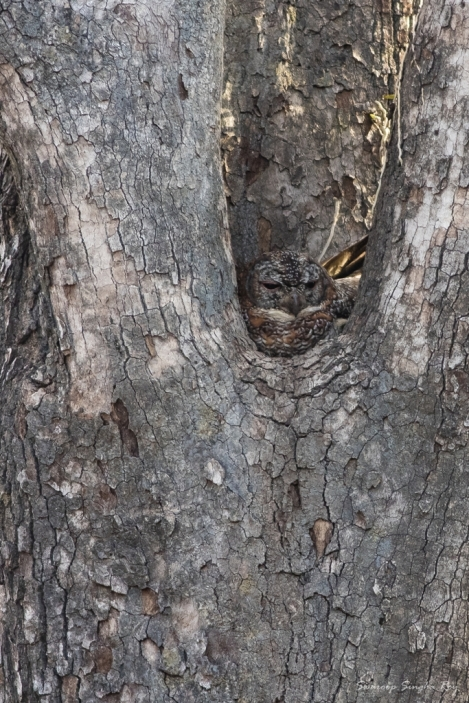 Mottled Wood Owl - A master of Camouflage