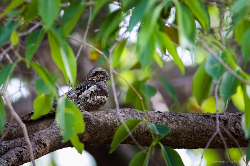 Indian Forest Nightjar