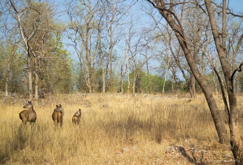 Three musketeers - Sambars near Tadoba lake