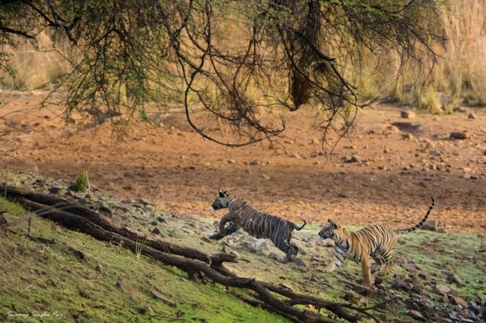 Two cute little cubs of Maya, playing near the Pandharpauni Lake
