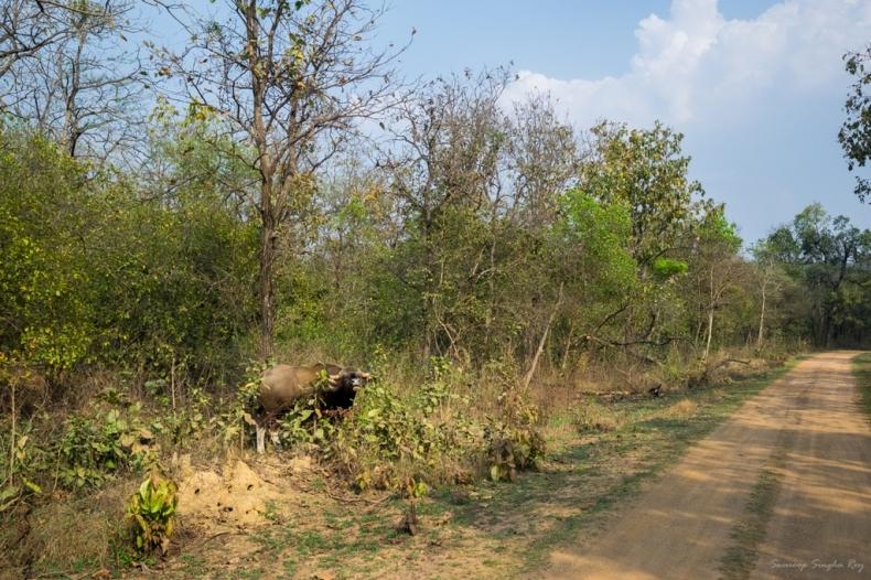 Gaur / Indian Bison at Umred Karhandla WLS