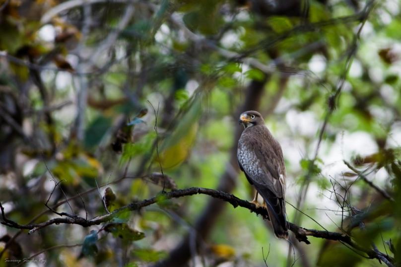 White-eyed Buzzard | Umred Karhandla WLS