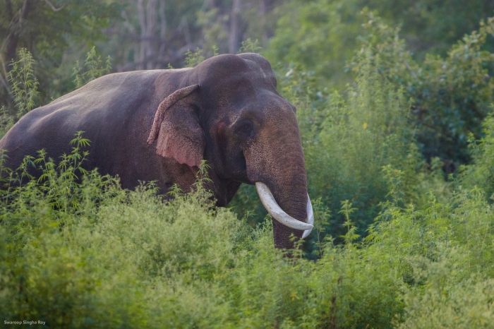 Elephant_Corbett_Cannabis__World Elephant Day_Swaroop Singha Roy